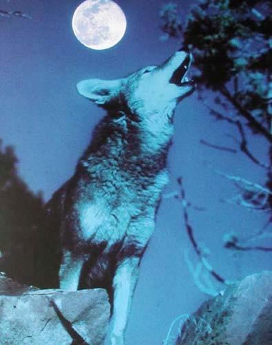 Heulender Wolf bei Vollmond Poster
