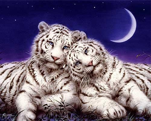 Zwei weiße Tiger Folienbild