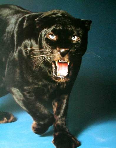 Fauchender Schwarzer Panther Poster