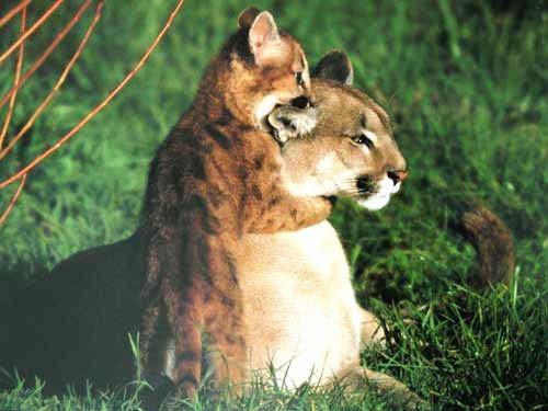 Löwin und Baby