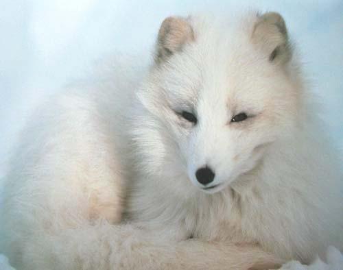 Arktischer Fuchs Poster