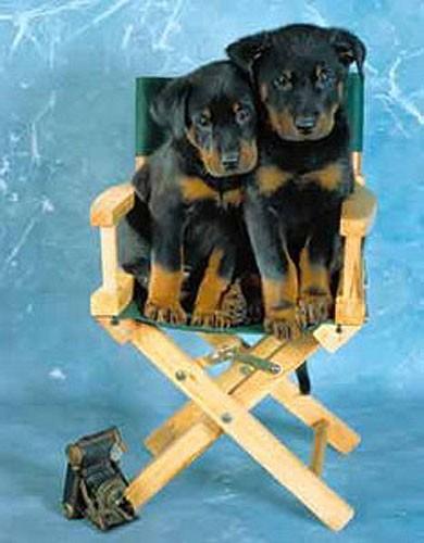 Zwei Rottweiler-Welpen Poster