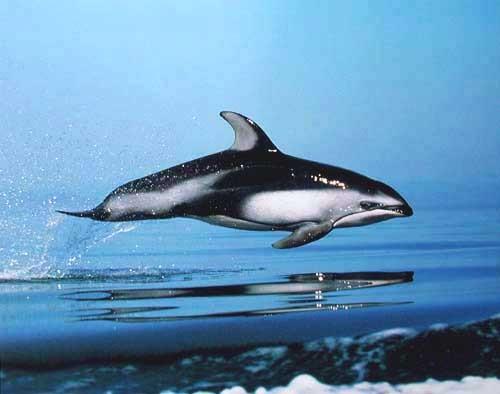 Pazifischer Weißseitendelfin/ Delfin Poster