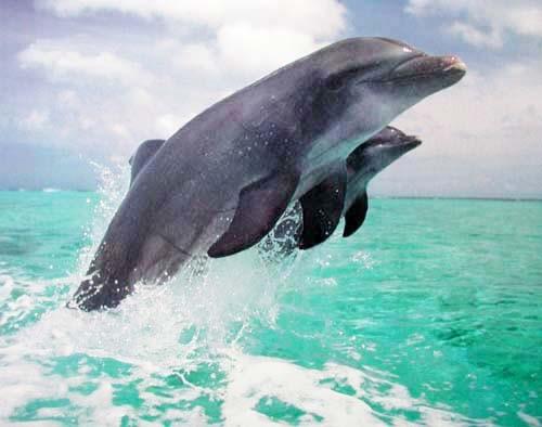 Zwei springende Delfine Poster