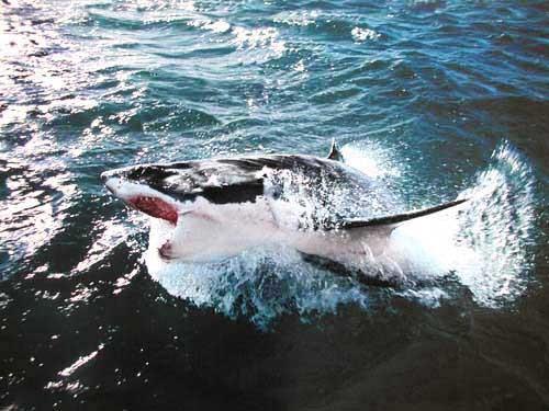 Weißer Hai Poster