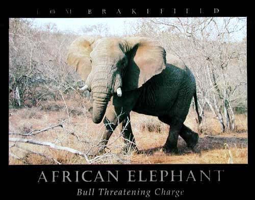 Afrikanischer Elefant - Kunstdruck / Poster 40x50 cm