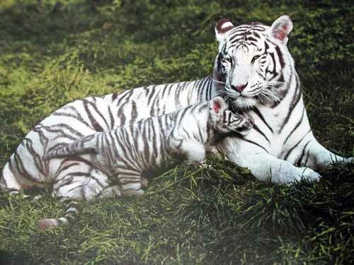 Weißer Tiger und Tigerbaby