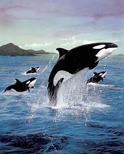 Springende Orcas Poster
