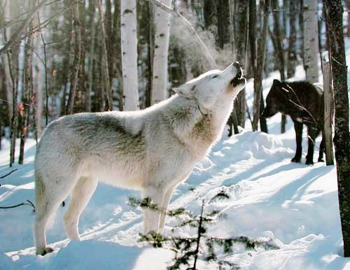Gray Wolf in Snow by Daniel J. Cox