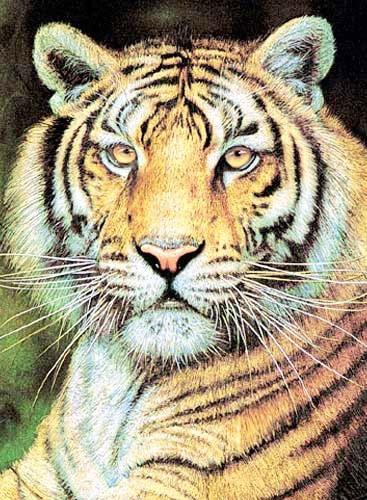 Tiger Portrait *