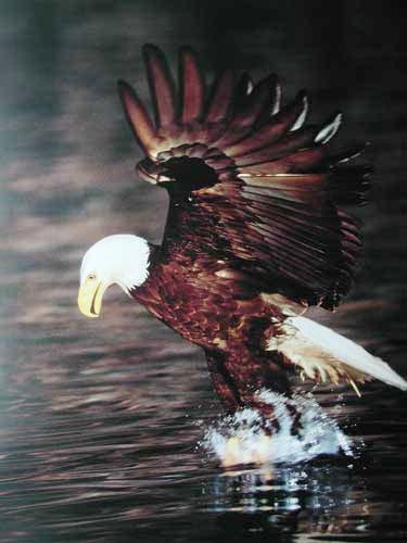 Seeadler- Fischfang Poster 40x50