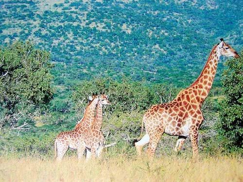 Giraffen Poster