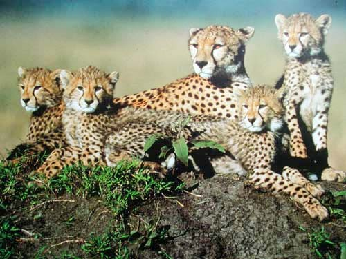 Gepard and Cubs