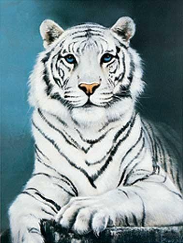Weißer Tiger - Alubild