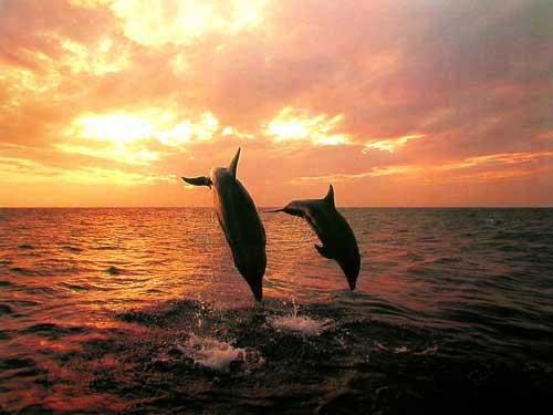 Delfine- Silhouette von Tom Brakefield