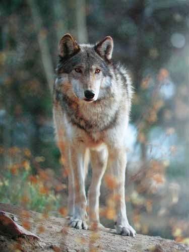 Wolf im Herbst Poster