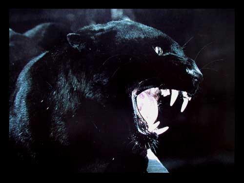 Schwarzer Panther Profil, Poster 40x50