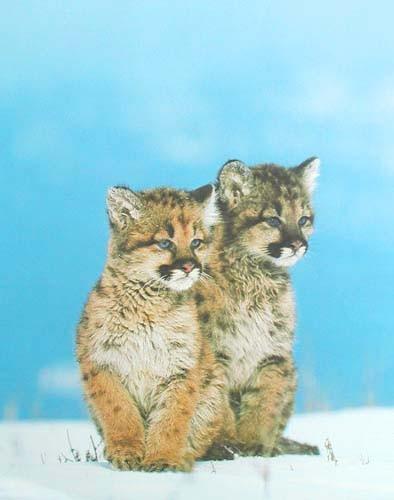 2 Kleine Pumas Poster 40x50 cm