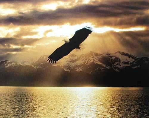 Weißkopfseeadler im Sonnenuntergang Poster