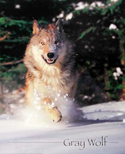 Gray Wolf Running by Brent Allen