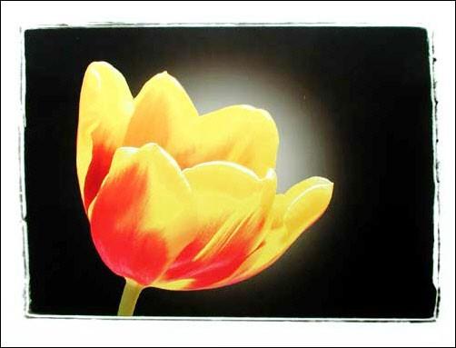 Gelbe Tulpe Poster 40x50 cm