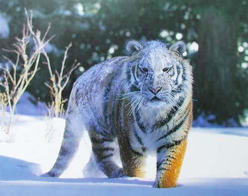 Siberian Tiger on Snow by Tom Brakefield