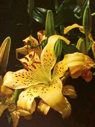 "Lilien ""Yellow Blaze"" by John Glover"