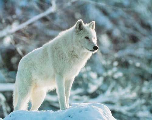 Grauer Wolf im Winter Poster 40x50