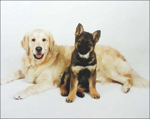 Labrador Retriever und Deutscher Schäferhund