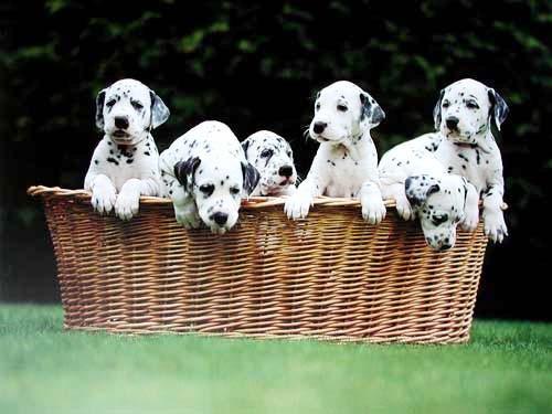 Dalmatiner Puppies im Korb