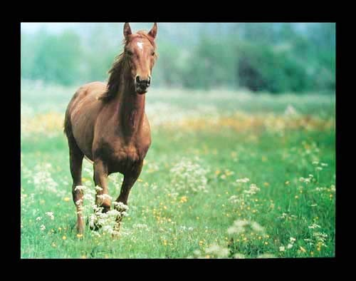 Braunes Pferd auf Wiese Poster 40x50 cm