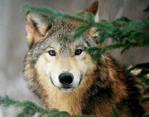 Grauer Wolf Portrait Poster 40x50