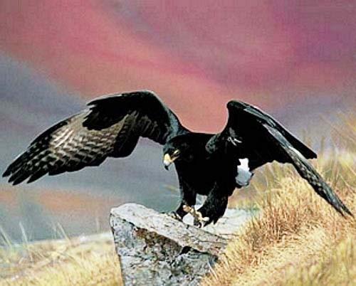 Schwarzer Adler auf Stein Poster