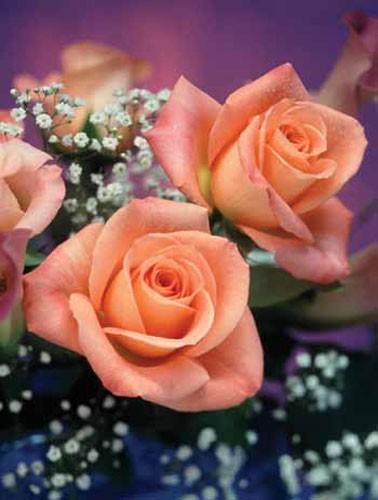 Pinke Rosen von Dana Schröder - Alu Bild