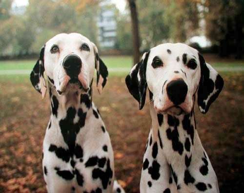 Zwei Dalmatiner, Poster