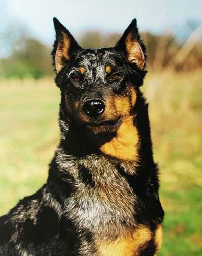 Schwarzer Hund Poster