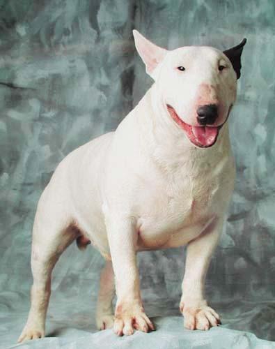 Weißer English Bullterrier, Poster 40x50