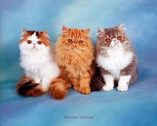 Katzen, Persian Kittens