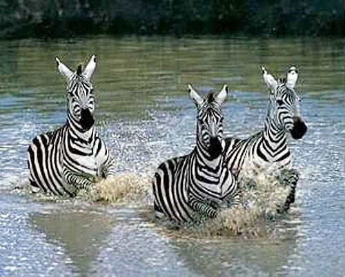 Drei Zebras im Wasser Poster