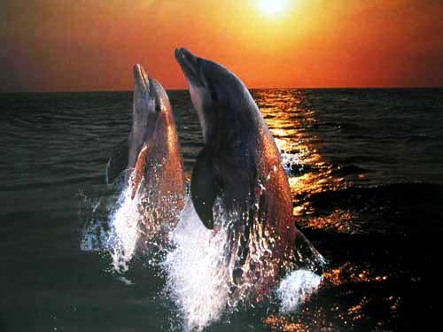 Delphine im Sonnenuntergang