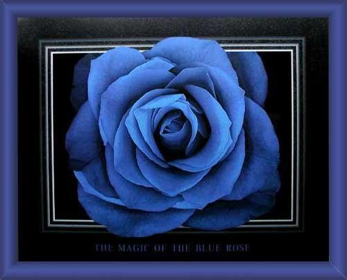 Blaue Rose Wandbild gerahmt