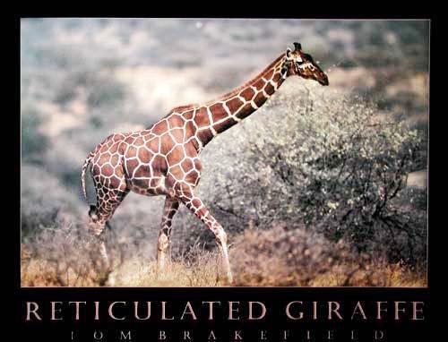 Reticulated Giraffe by Tom Brakefield
