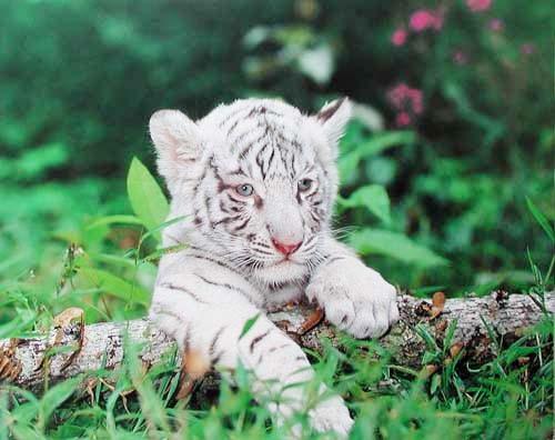 Weißes Tigerbaby Poster 40x50 cm