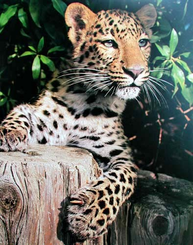 Leopard am Baumstamm Poster