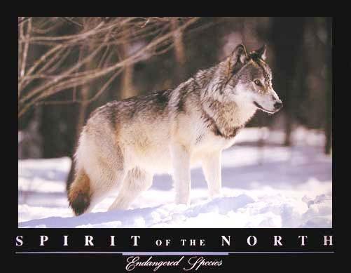 Grey Wolf Spirit of the North