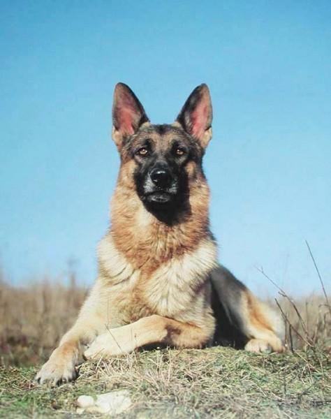 Deutscher Schäferhund Portrait Poster