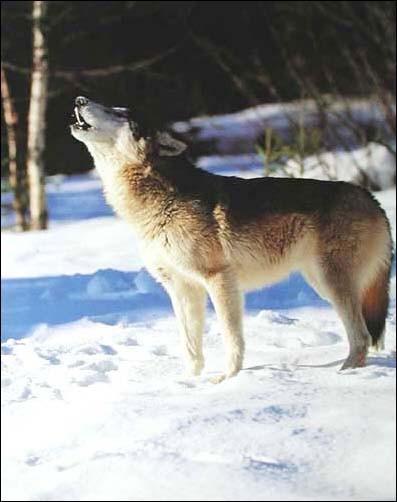 Heulender grauer Wolf im Winter Poster 40x50