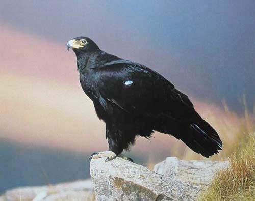 Schwarzer Adler Poster