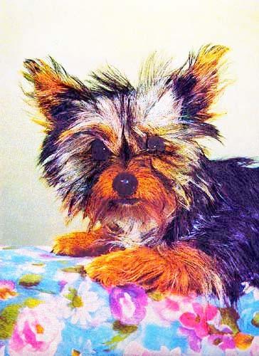 Yorkshire Terrier*