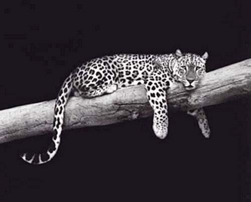 Leopard auf dem Baumstamm